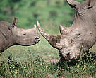 Southern White rhinoceros. Adult and calf.