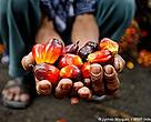 Pak Godi, a smallholder farmer who is affilaited with Musim Mas via their KKPA smallholder scheme shows harvested palm fruit. Riau, Sumatra. The small oil palm farmers, who belong to a smallholder collective affiliated with Musim Mas, are currently working toward RSPO certification.