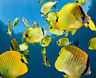 Schooling Lemon butterflyfish (Chaetodon miliaris) near to surface. Maui, Hawaii.