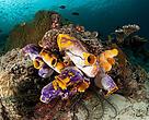 Cluster of tunicates (Polycarpa aurata), Misool, Raja Ampat, West Papua, Indonesia