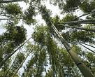 Farmers harvest bamboo shoots in plantations at Tongli Wetland Park China part of the Tai Lake Basin.