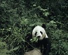 Giant panda (Ailuropoda melanoleuca); Wolong Research Centre, Sichuan Province, China