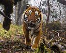 A wild tiger (Bengal Tigris), using a biological corridor, captured on DSLR camera trap. Bhutan.