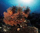 Feather star (Comatulids) on fan coral. Indo-Pacific Ocean
