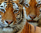 Two Siberian tigers (Panthera tigris altaica) portraits, captive