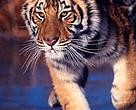 Amur tiger (Panthera tigris altaica) on iced lake.